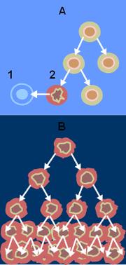 Клетки, повреждение в которых отключает апоптоз, теоретически бессмертны. Больные клетки продолжают бесконтрольное размножение.
