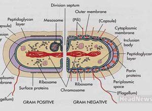 Differences between Gram positive and Gram negative bacteria. Медицинские новости, здоровье. МедЭксперт